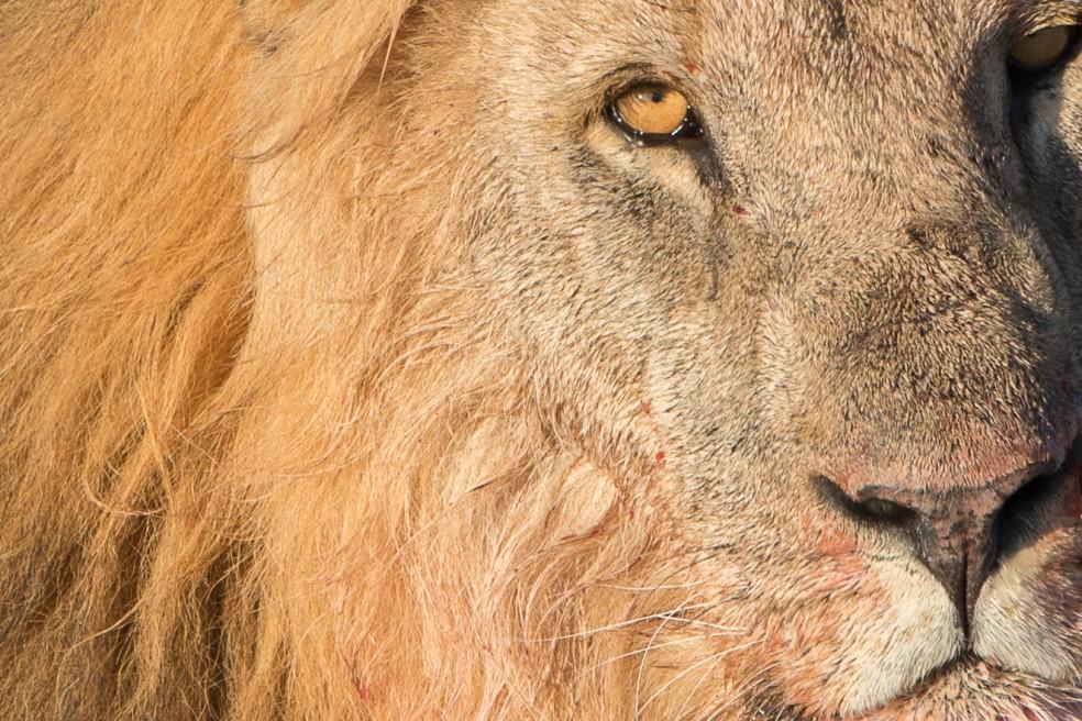 Lejon jakt