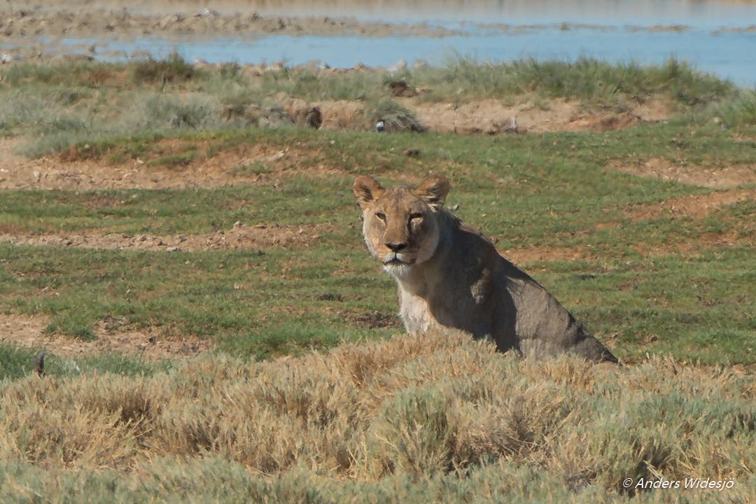 Lejon jakt w (16 av 46)