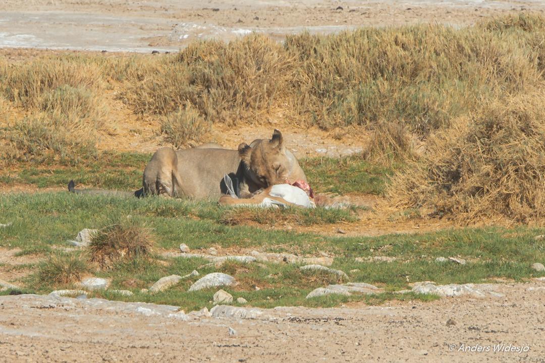 Lejon jakt w (18 av 46)