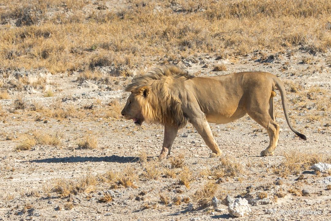 Lejon jakt w (19 av 46)