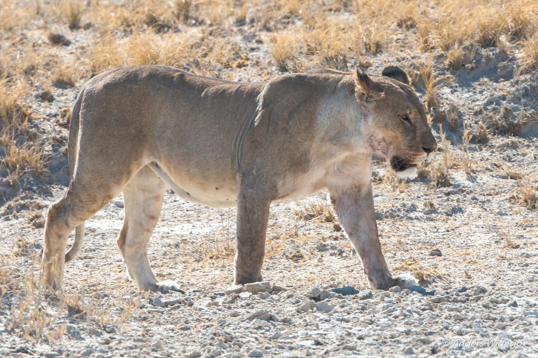 Lejon jakt w (2 av 46)