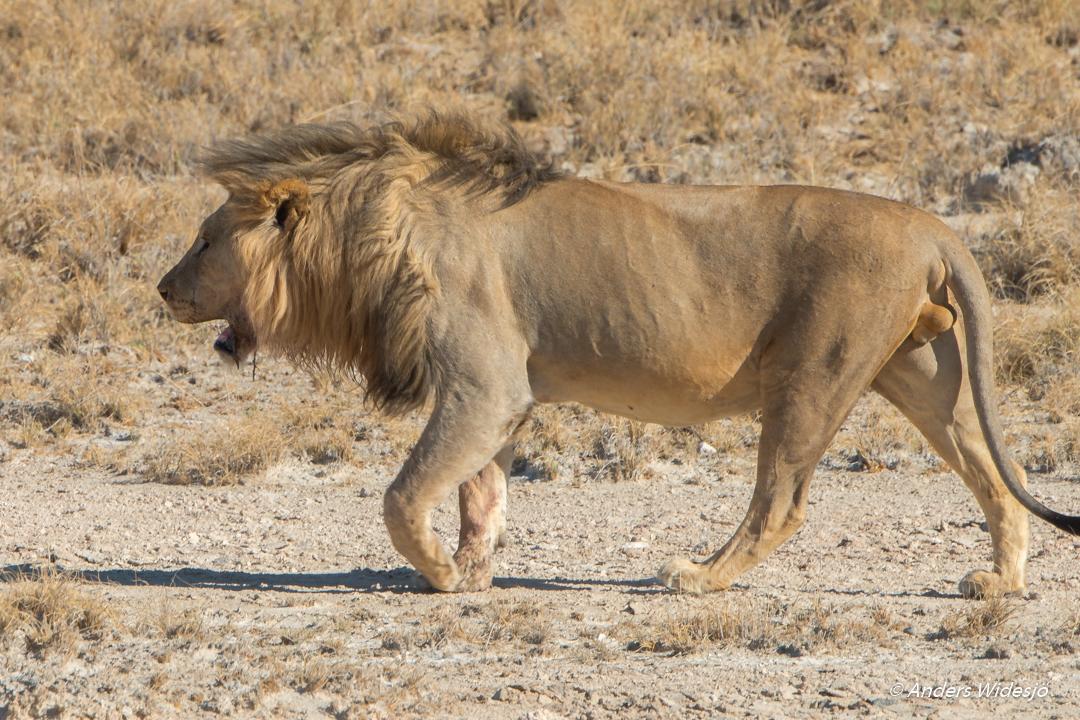 Lejon jakt w (20 av 46)