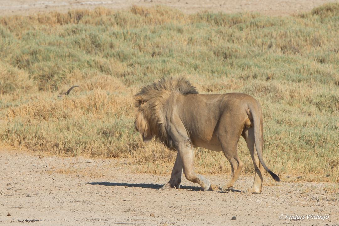 Lejon jakt w (21 av 46)