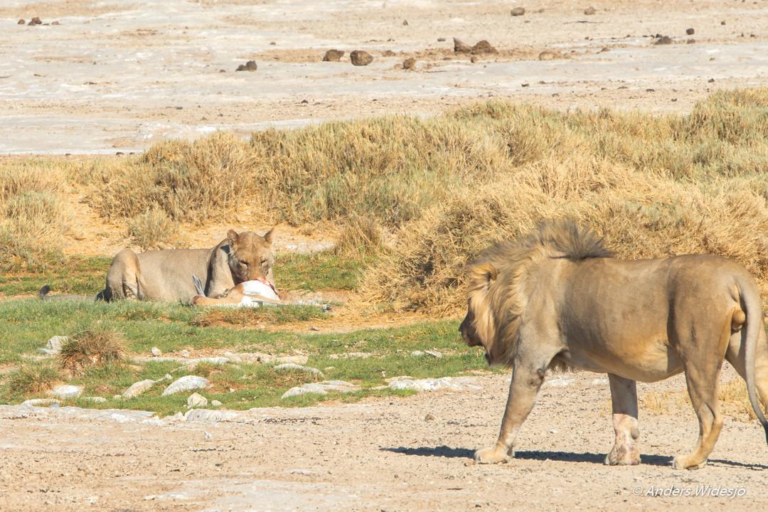 Lejon jakt w (23 av 46)