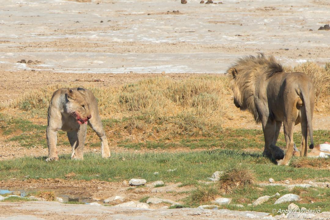 Lejon jakt w (28 av 46)