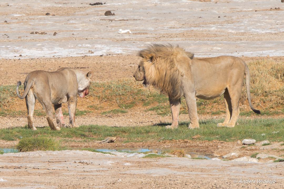 Lejon jakt w (30 av 46)