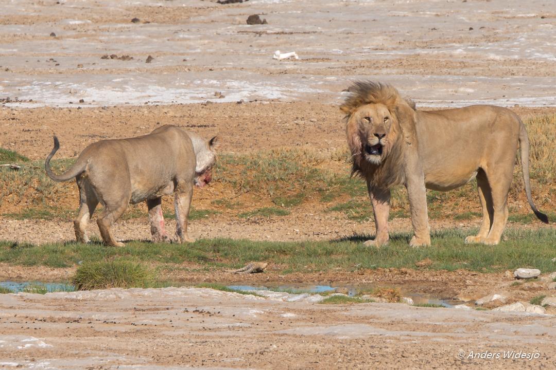 Lejon jakt w (31 av 46)