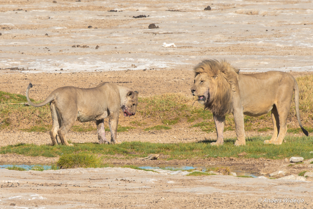 Lejon jakt w (32 av 46)