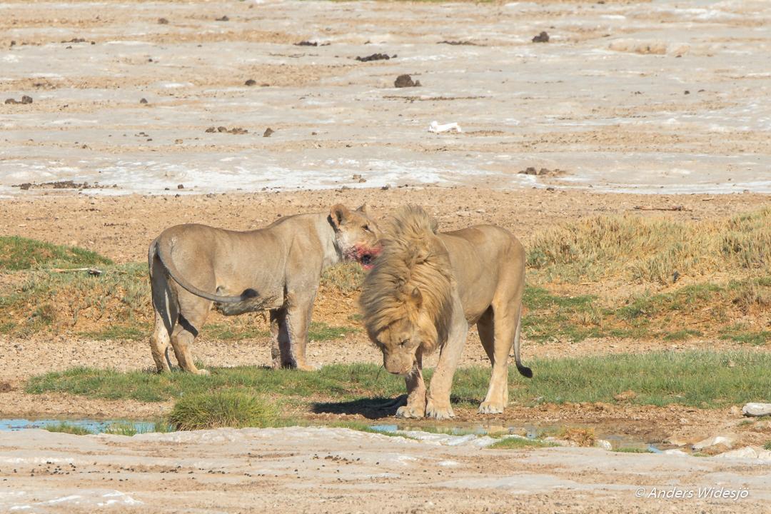 Lejon jakt w (34 av 46)