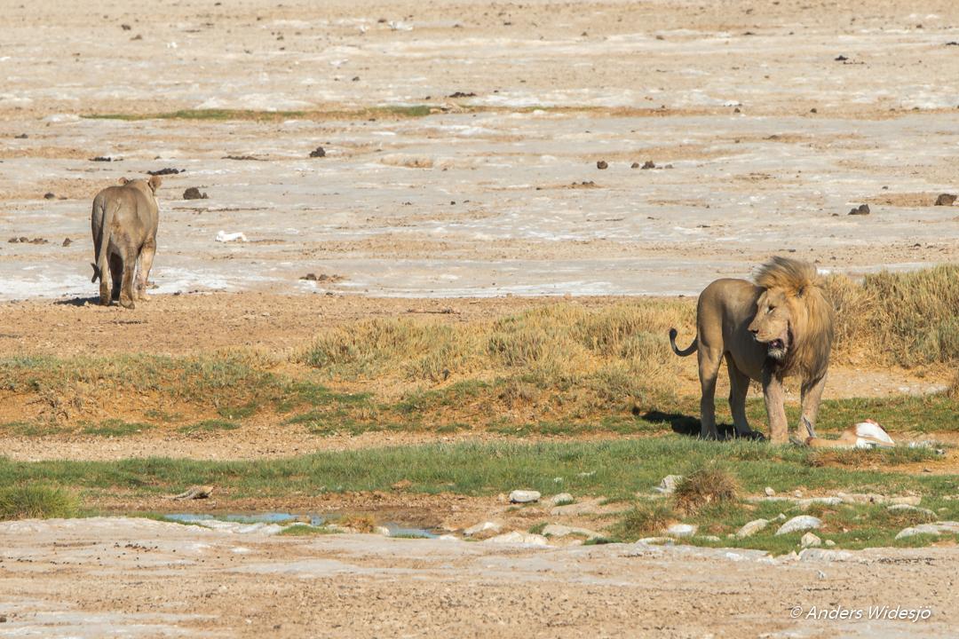 Lejon jakt w (36 av 46)
