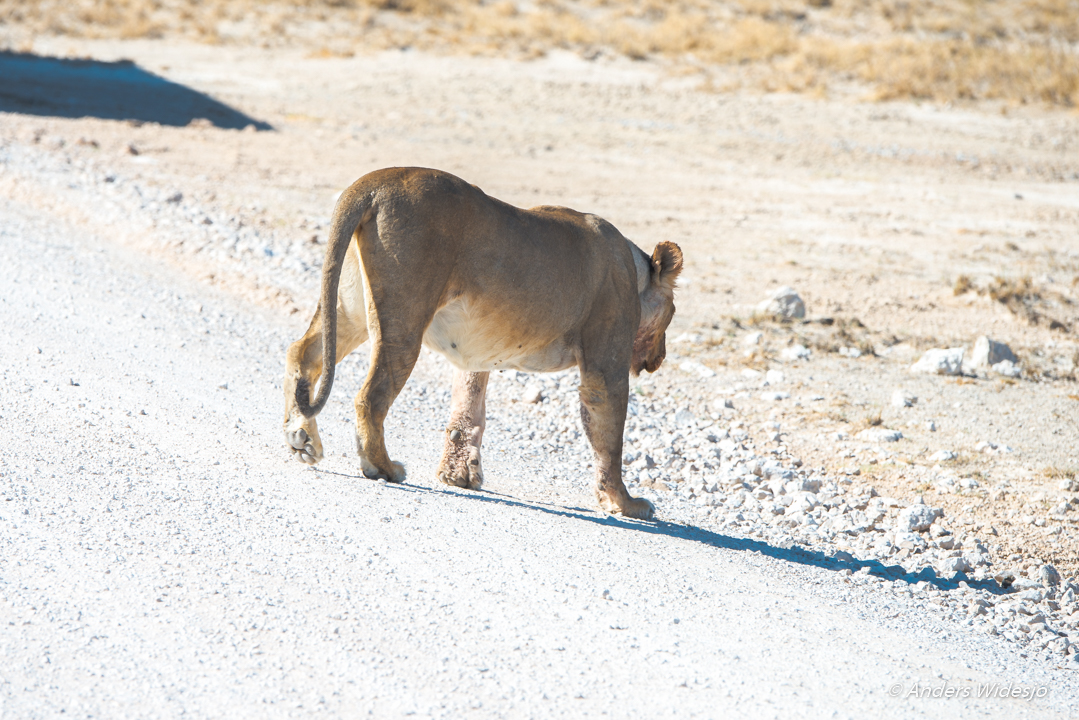 Lejon jakt w (4 av 46)