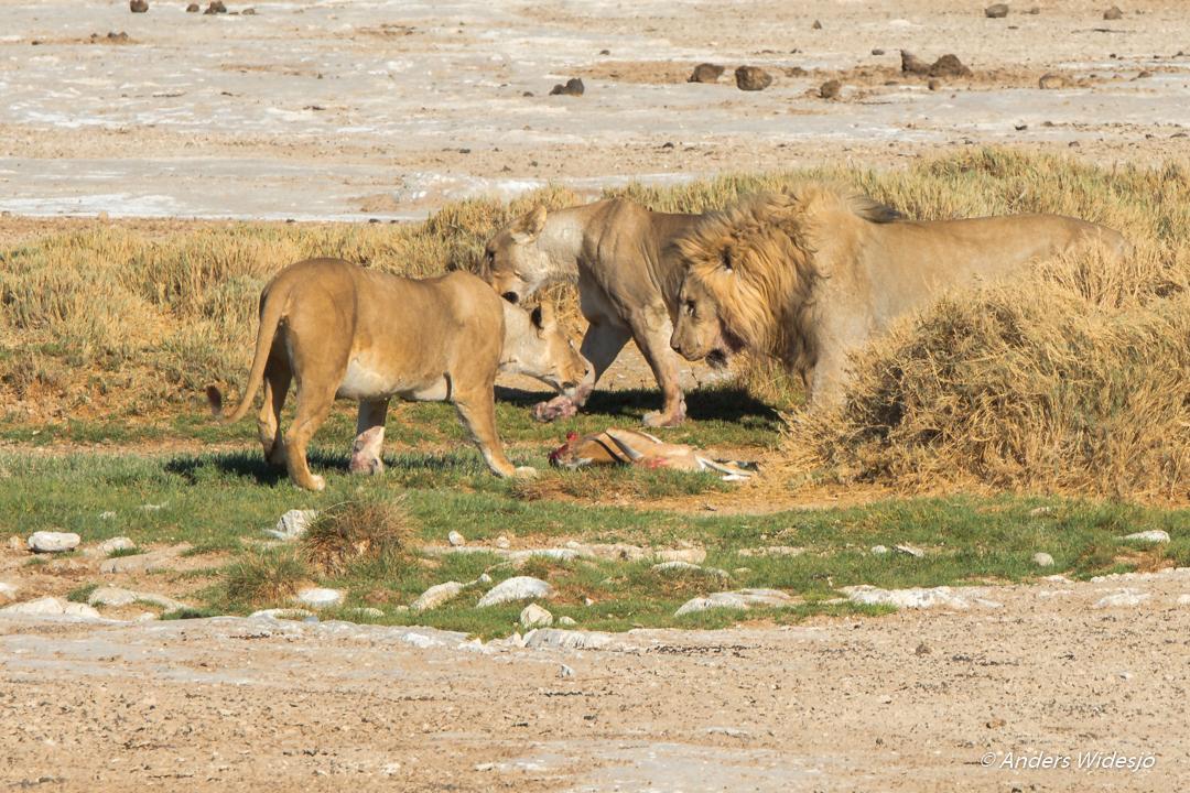 Lejon jakt w (40 av 46)