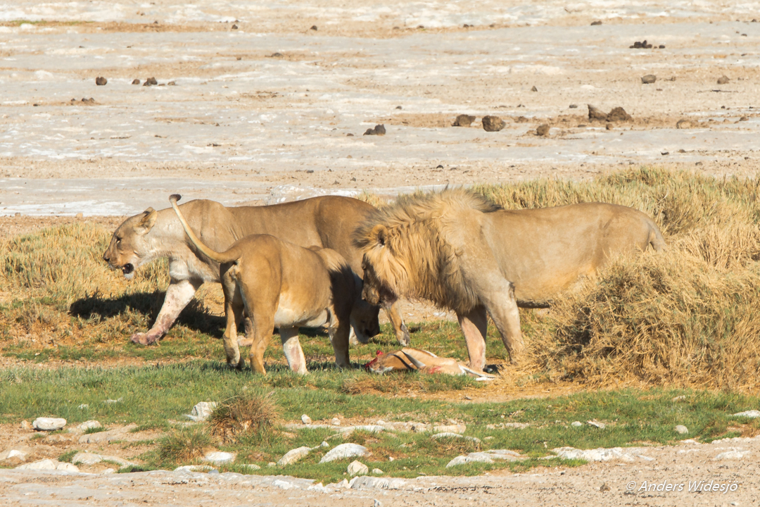 Lejon jakt w (42 av 46)