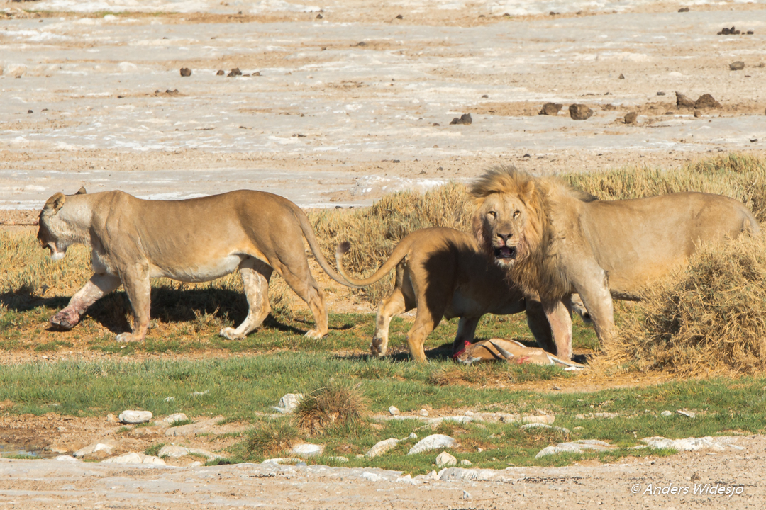 Lejon jakt w (43 av 46)