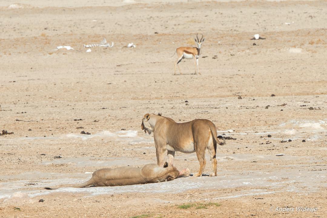 Lejon jakt w (45 av 46)