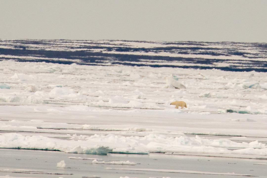 Isbjörn h-2